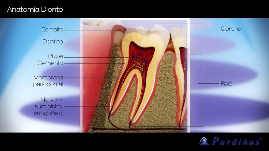 anatomia dental clinica
